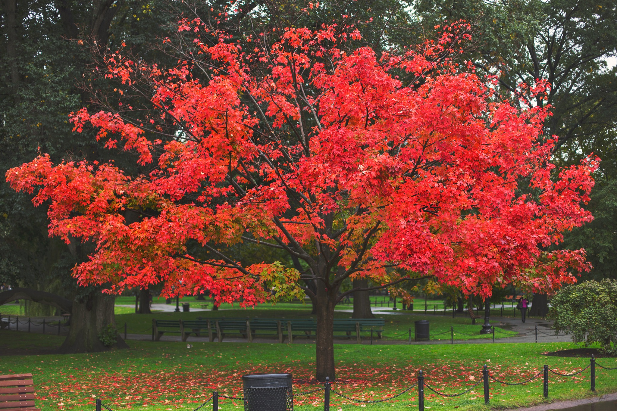 First Red Tree in Boston Public Garden