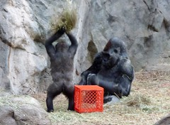 Baby gorilla throws hay on mom