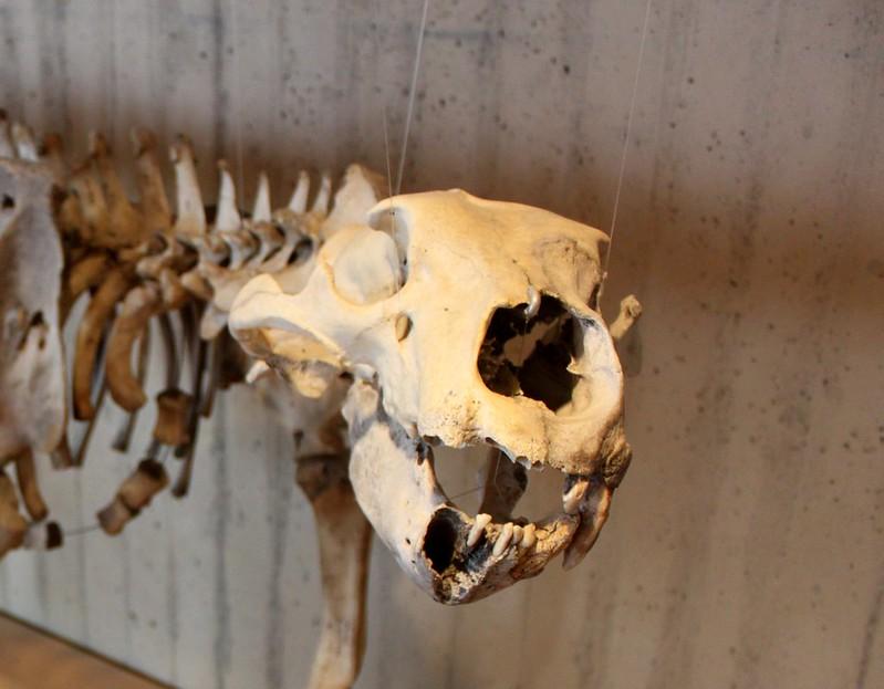 Bear Skeleton