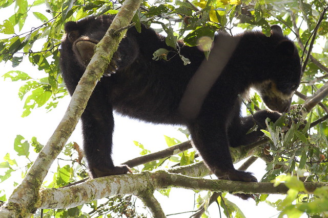 photo of spectacled bear