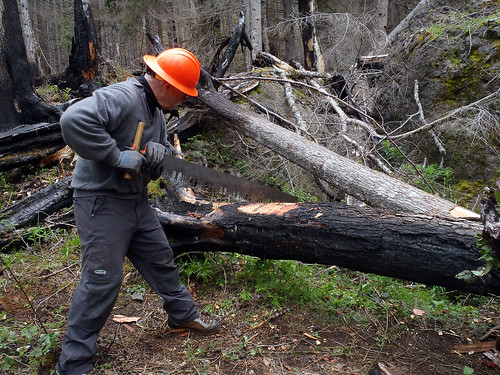 A volunteer with the Washington Trails Association uses a cross-cut saw to clear fallen timber from a trail on the Olympic National Forest in Washington State. Volunteers use the saws even though their use is not required outside of a wilderness area. However, the association sees any use of the saws as an opportunity for training. (Courtesy Meg MacKenzie/Washington Trails Association)