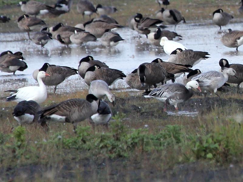 Фотография 'Белые гуси среди канадских казарок'