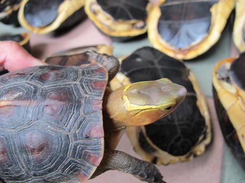 幸運獲救的食蛇龜。(圖片來源:南投林管處)