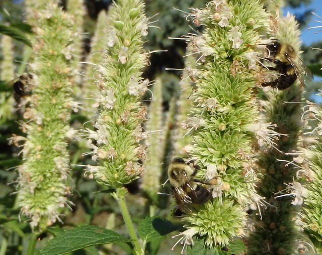 bumblebees on purple giant hyssop