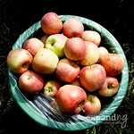 Post image for Apple picking {photos}