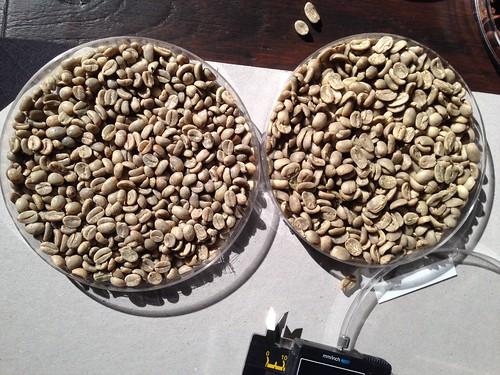 MaragoGype beans vs regular beans
