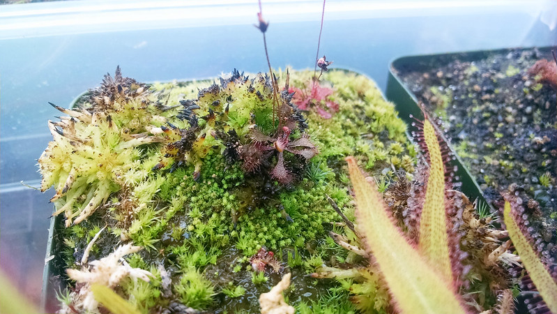 Drosera brevifolia, apparently (but not actually) dead.