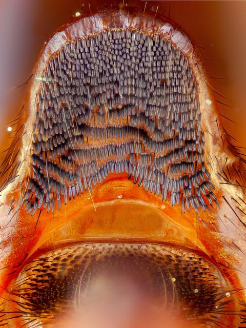 Conopid fly abdominal hook 10x