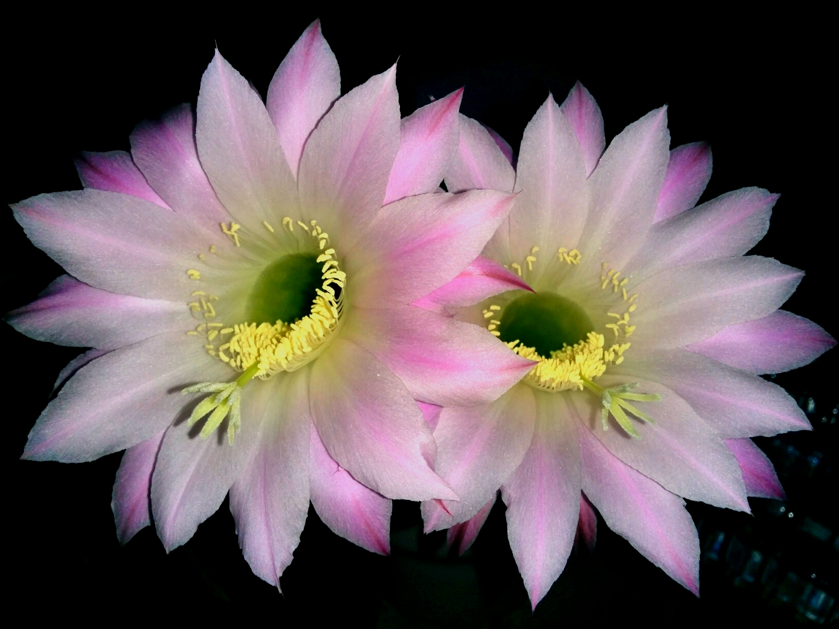 My unreality 556 cactus flowers photo spam despite the fact that the flowers are beautiful they also smell good it is especially noticeable at night izmirmasajfo