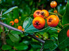 Pyracantha berries in Somerset