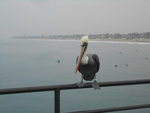 pelican (3)