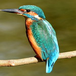 DSC_2564 Kingfisher.