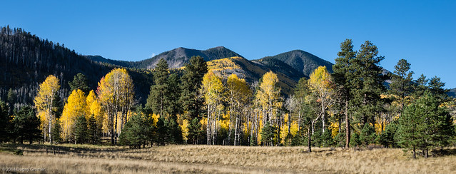 Aspen Trees Fall Color in Lockett Meadow 3