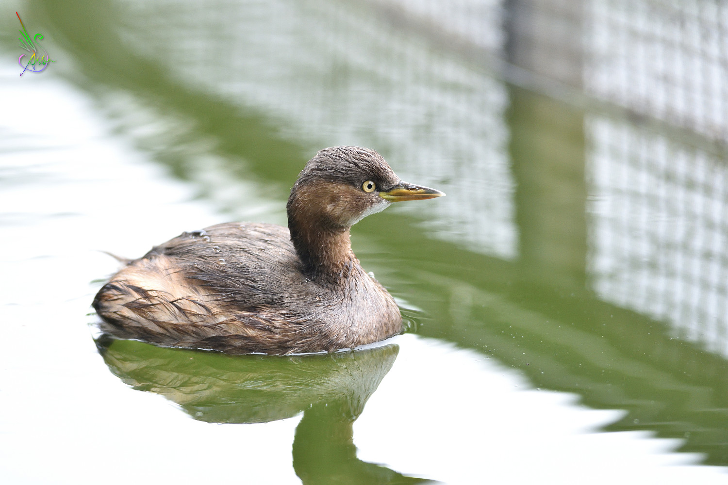 Little_Grebe_5703