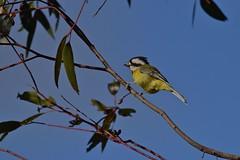 Eastern  Shrike - tit
