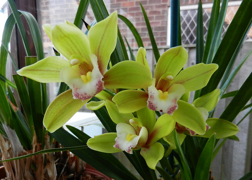 Cymbidium Orchid