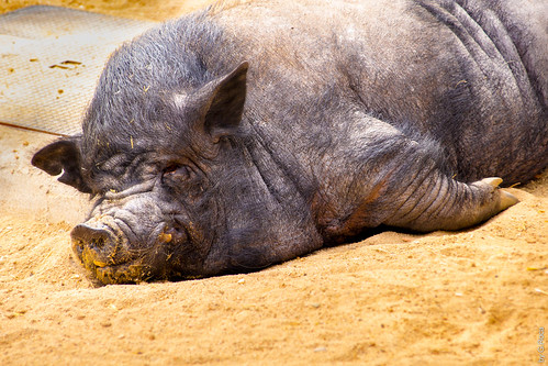 It's Been a Hard Day (Pig, Zoo, Madrid, Spain)