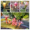 Just cellphone snaps of my cactus blooms in my yard at dusk...
