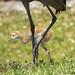 litte crane, big crane by wandering tattler