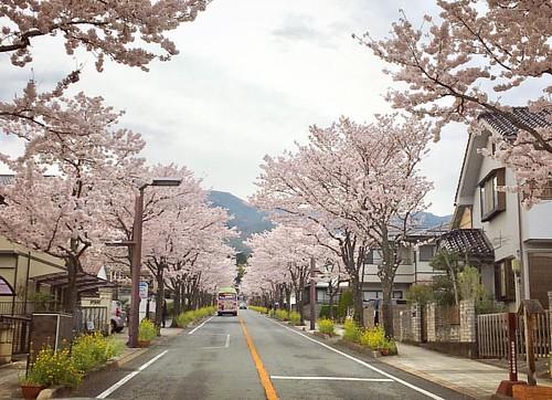 Avenue of Sakura trees leading to Takeda Shrine...