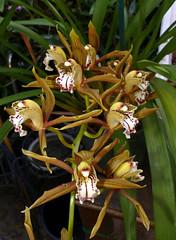 Cymbidium schroederi orchid species