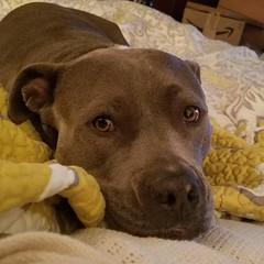 Daddy, it's 4 am, let's play! #bonnie_blue_staffy #bonnie_blue_bullie #staffysofinstagram #pitbullsofinstagram #dogsofinstagram #showmeyourpitties #dontbullymybreed #endbsl #lovernotafighter #dogstagram #doglove #dogsofinstaworld #adoptdontshop #rescuedog