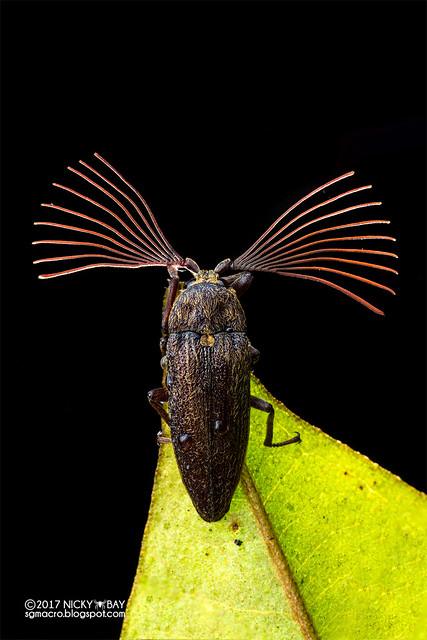 Cedar beetle (Callirhipidae) - DSC_4009