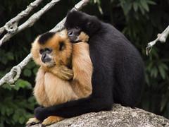ape(0.0), gibbon(1.0), animal(1.0), monkey(1.0), mammal(1.0), fauna(1.0), old world monkey(1.0), new world monkey(1.0), wildlife(1.0),
