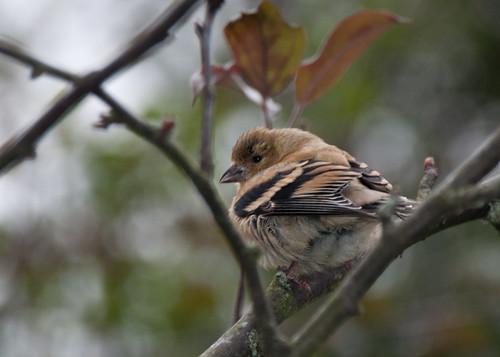 09-25-14 Fall Finch