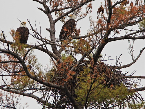 Bald Eagles at Mooseheart nest 20140930