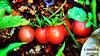 Legumes 001