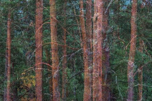 tree forest suomi finland multipleexposure trunk tripleexposure multiexposure hämeenlinna aulanko skrubu tavastehus pni pekkanikrus