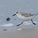 Sanderling - Photo (c) Paul van de Velde, some rights reserved (CC BY)