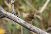 Troglodyte des forêts / Winter Wren / Troglodytes hiemalis