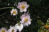123-28  Anemone japonica 'Königin Charlotte'