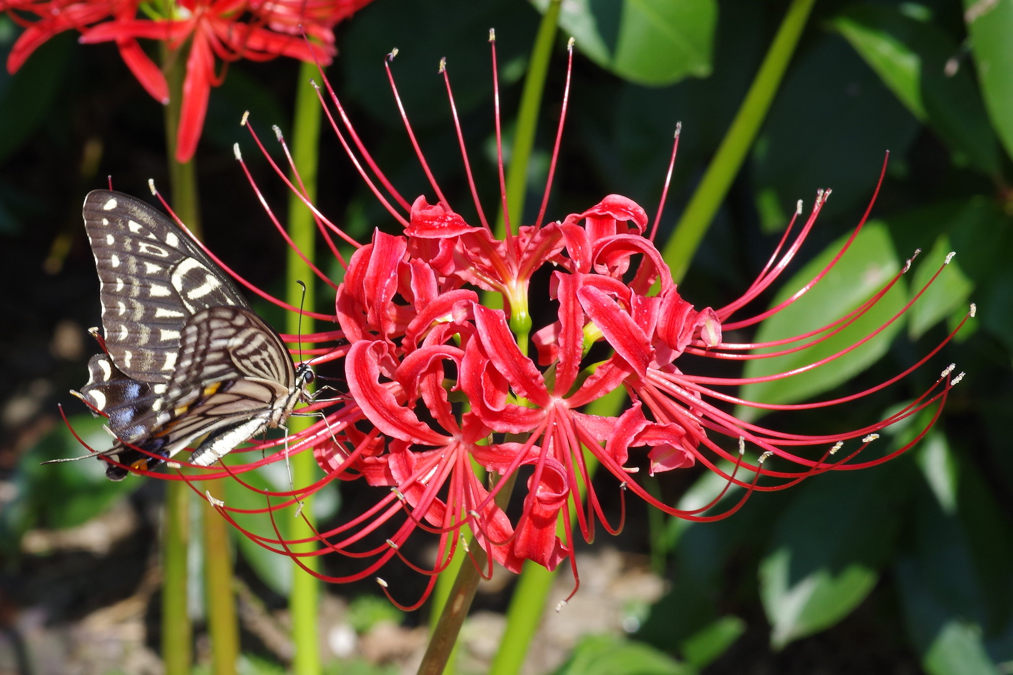 Lycoris radiata & butterfly
