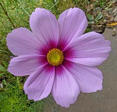 annual plant(1.0), flower(1.0), purple(1.0), garden cosmos(1.0), plant(1.0), macro photography(1.0), flora(1.0), cosmos(1.0), pink(1.0), petal(1.0),