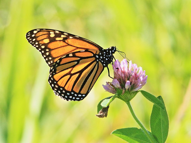 Monarch butterfly 20141008
