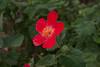 Heart-leaf Hibiscus ( Tulipan del Monte) - Hibiscus cardiophyllus
