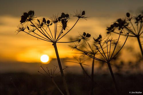 sunset hogweed