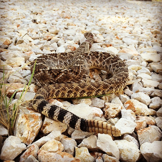 The only good thing about this is that I get some pics without worry about it being alive. It does, however, still move from reflex and that's a little creepy. #texas #rattlesnake