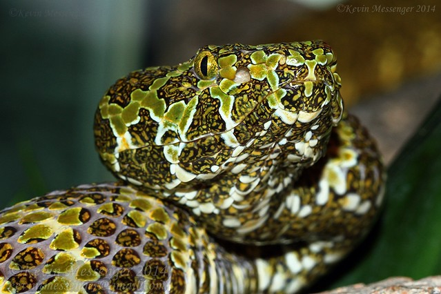 Mangshan pit-viper (Protobothrops mangshanensis)