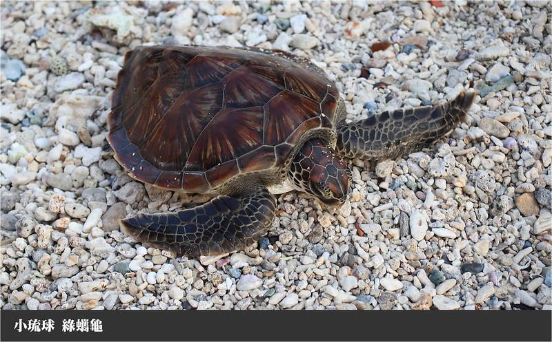小琉球綠蠵龜
