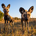 African Wild Dogs by Will Burrard-Lucas | Wildlife