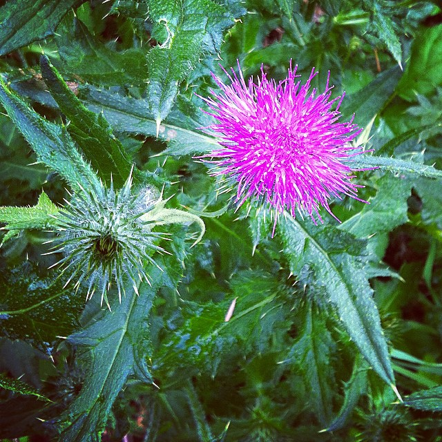 Thistle is pretty.