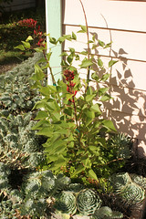 Erythrina bidwillii