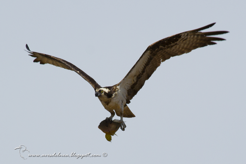 Águila pescadora (Osprey) Pandion haliaetus