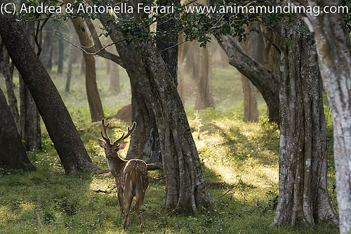 reefwondersdotnet posted a photo:Spotted deer Axis axis, Wilpattu NP, Sri Lanka
