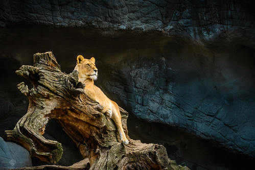 portrait nature animal vintage mammal tiere nikon natur lion porträt bigcat nikkor löwe lightroom 70300 raubkatzen querformat raubtier landscapeformat stockcategories d7100 säugetiere analogefexpro2