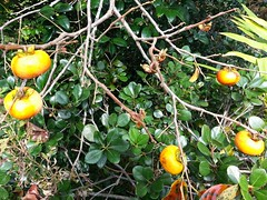 branch, leaf, yellow, plant, diospyros, flora, fruit, persimmon,